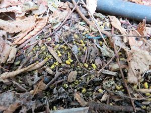 pupal-cases-aggregate-at-base-of-tree-arb-consultants